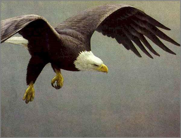 Robert Bateman - Approach - Bald Eagle