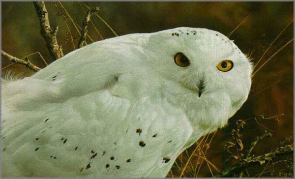 Carl Brenders - Amber Gaze - Snowy Owl