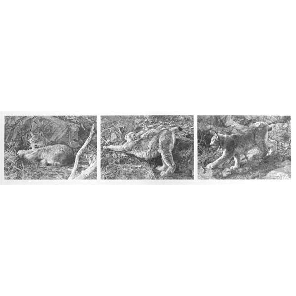 Carl Brenders - Canadian Lynx - Triptych