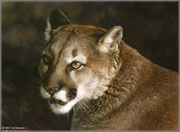 Carl Brenders - Close Up - Cougar