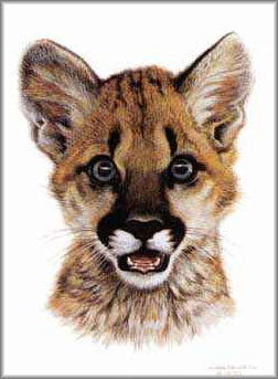 Carl Brenders - Cougar Cub Study
