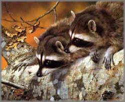Carl Brenders - Double Trouble - Raccoons