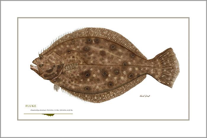 Flick ford fluke art for Menhaden fish meal