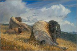Big Boss by Nancy Glazier Wildlife Buffalo Fine Art Print Signed by Artist