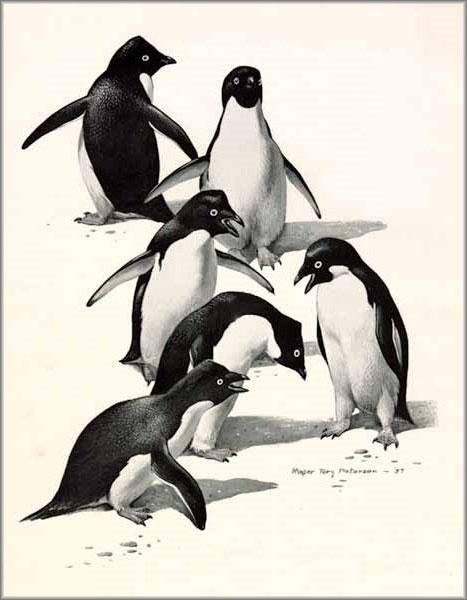 Roger Tory Peterson - Adelie Penguins