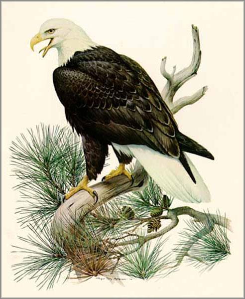 Roger Tory Peterson - Bald Eagle