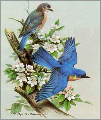 Roger Tory Peterson - Blue Bird