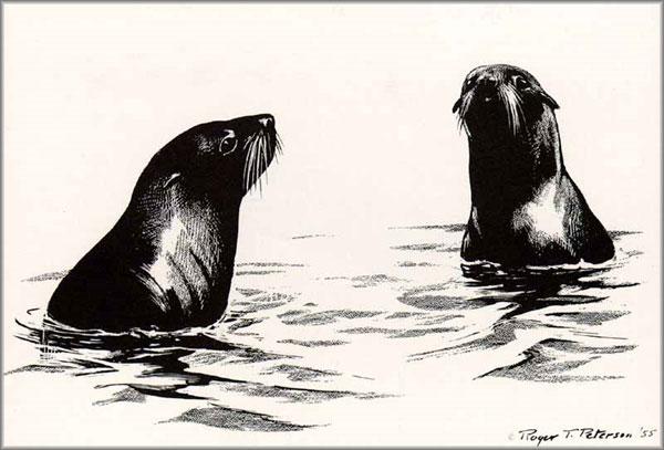Roger Tory Peterson - Fur Seals