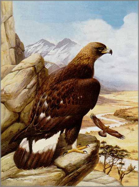 Roger Tory Peterson - Golden Eagle