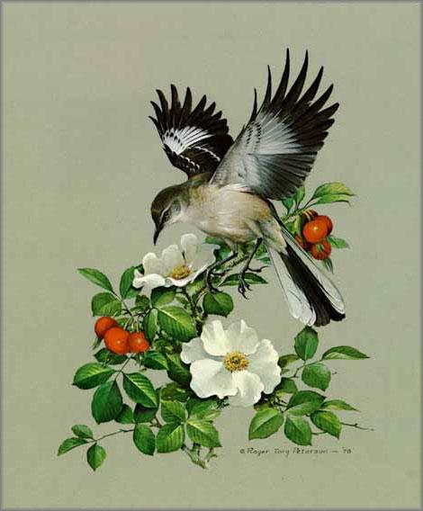 Roger Tory Peterson - Mockingbird