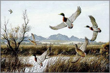 Maynard Reece - Flaring - Mallards