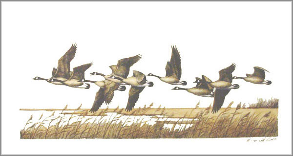 Maynard Reece - Flying Low - Canada Geese