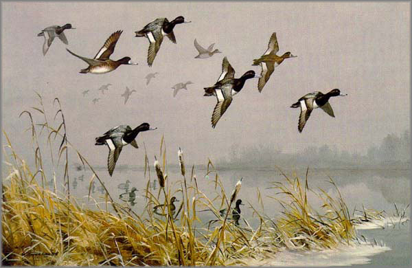 Maynard Reece - Over the Point - Lesser Scaups