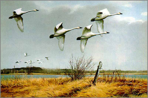 Maynard Reece - Regal Flight - Whistling Swans