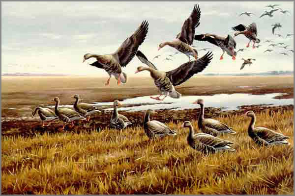 Maynard Reece - Rendezvous - White Front Geese