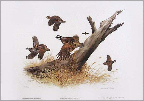 Maynard Reece - Weathered Wood - Bobwhite