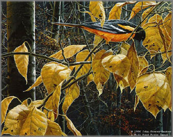 John Seerey-Lester - Cottonwood Gold-Baltimore Oriole