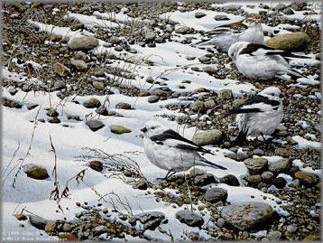 John Seerey-Lester - Early Arrivals - Snow Buntings