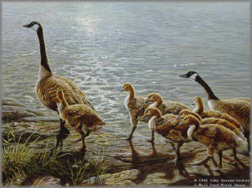 John Seerey-Lester - Lakeside Family - Canada Geese