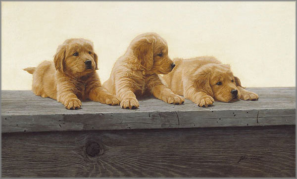 John Weiss - Golden Retriever Puppies