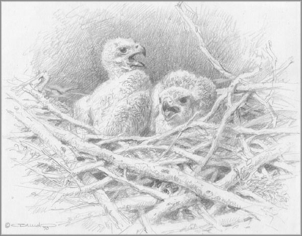 Carl Brenders - Two Bald Eaglets